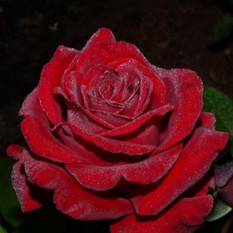 Роза Ингрид Бергман (INGRID BERGMAN)