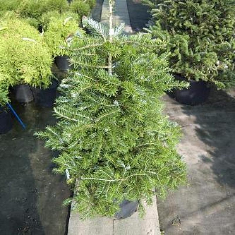 Пихта корейская Молли (Abies koreana Molli) С7,5 л (40-60 см)