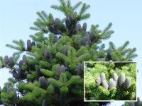 Пихта корейская (Abies koreana) С 30л, ( 80-100 см)