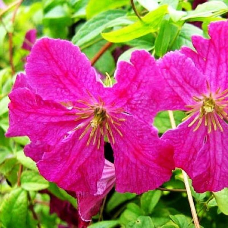 Клематис фиолетовый Абуданс (Viticella Abundance)