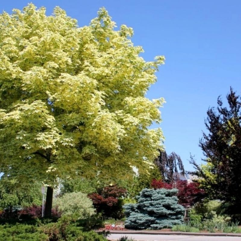 Клён остролистный Друммонди (Acer platanoides Drummondii) C 18 л 250-300 см