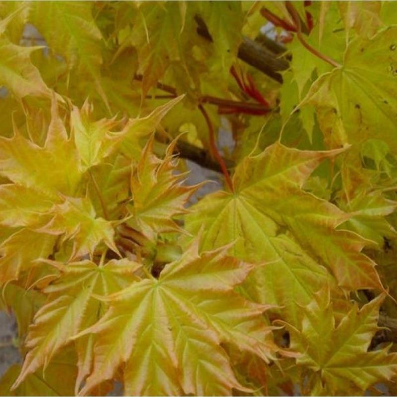 Клен остролистный Голден Глоб (Acer platanoides Golden Globe) (шт 140-160 см)