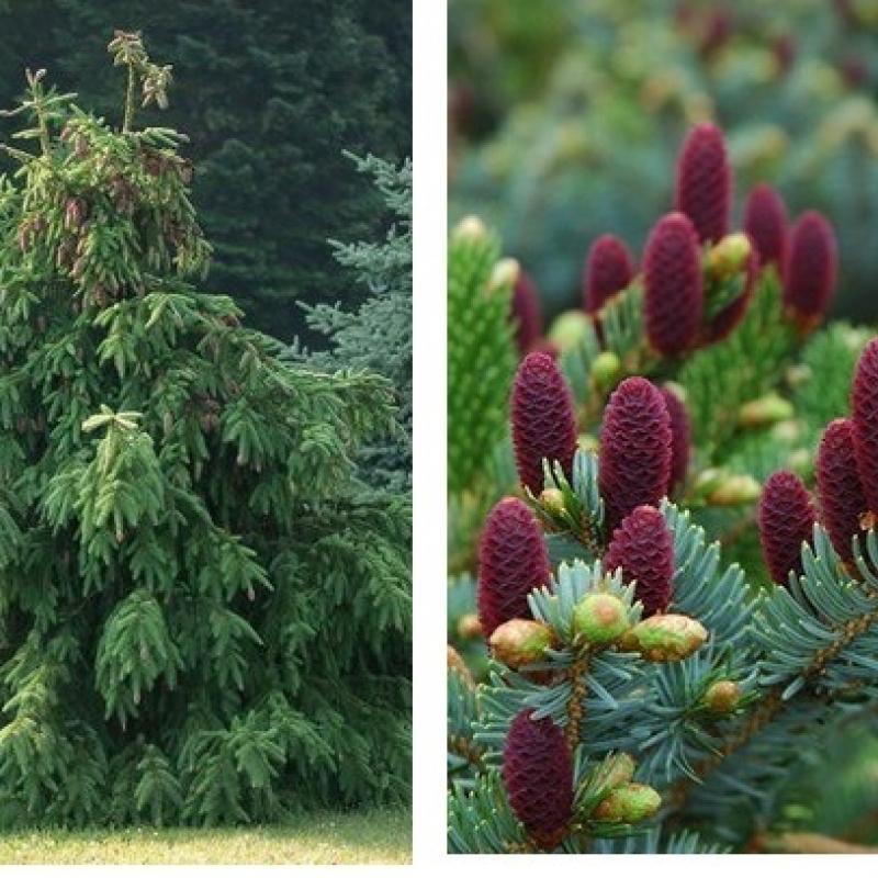 Ель обыкновенная Акрокона (Picea abies Acrocona) С4 л (40-45 см)