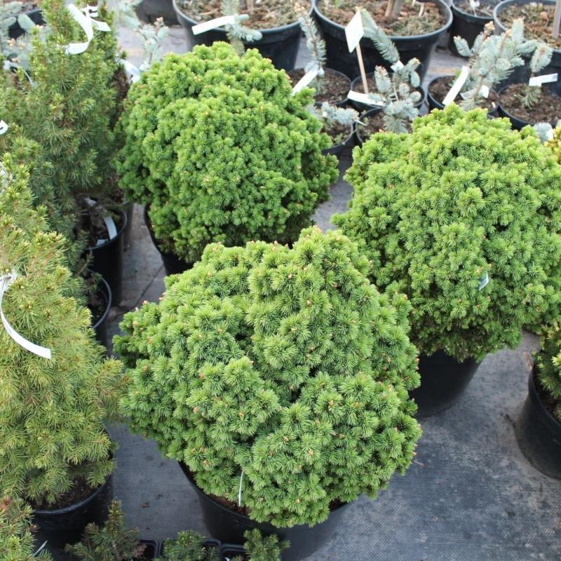 Ель канадская Альберта Глоб (Picea glauca Alberta Globe) С 5 л (20-30 см)
