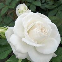 Роза Аннапурна (Annapurna)