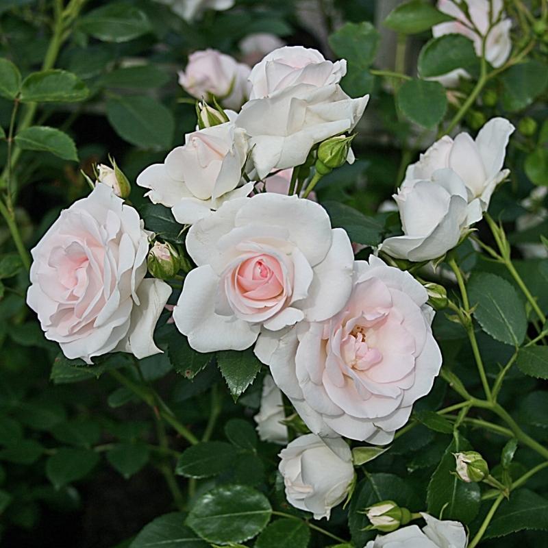 Роза Аспирин (Aspirin Rose)