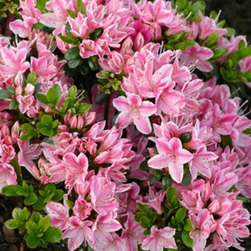 Азалия японская Кармезина Роуз (  Azalea Kermesina Rous) С 2 л (25-30 см)