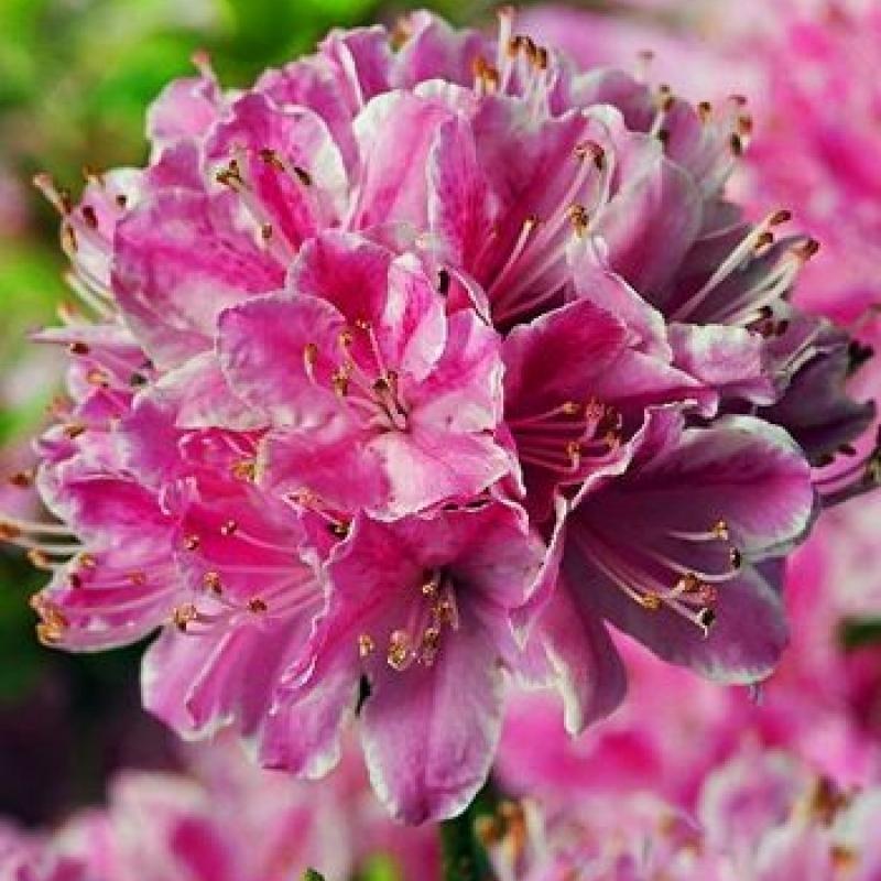 Азалия японская Кермезина (Azalea Kermesina) С 5 л (30-40 см)