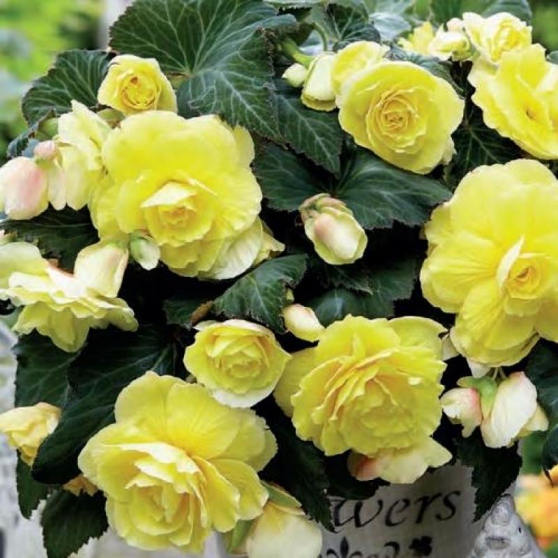 Бегония ароматная Fragrand Одороза Йеллов(Odorosa Yellow)