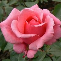 Роза Бель Анж (Bel Ange)