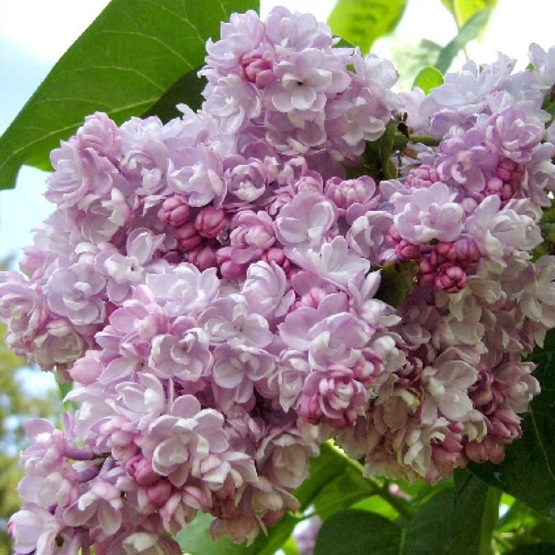 Сирень обыкновенная Бель де Нанси (Syringa vulgaris Belle de Nancy)