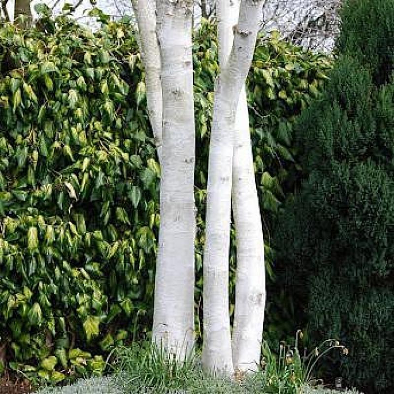 Береза Гималайская или Жакмона Дооренбос (Betula utilis var. Jacquemontii Doorenbos) С 10 л(200-250 см)