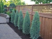 Можжевельник скальный Блю Эрроу (Juniperuss copulorum Blue Arrow) с 12 л (120+ )