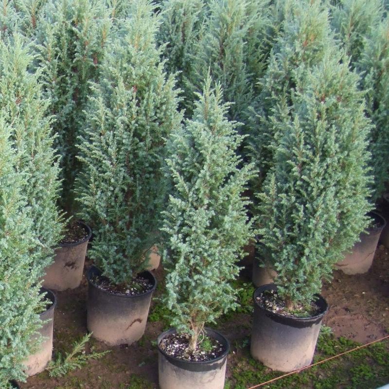 Можжевельник скальный Блю Хевен (Juniperus scopulorum Blue Heaven) С 3 л (60-80 см)