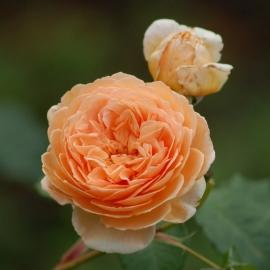 Роза Чарльз Остин (Charles Austin)