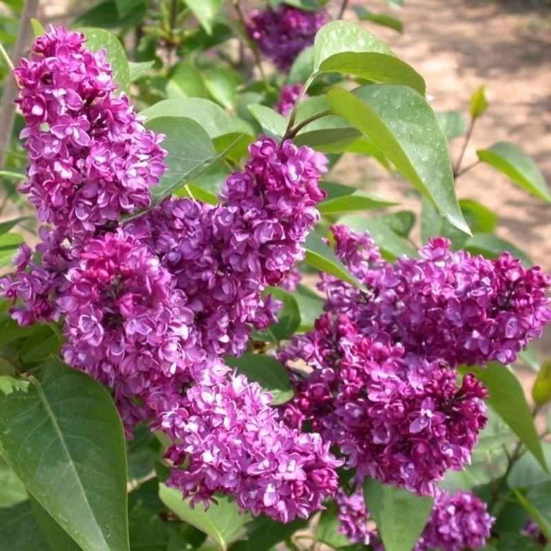 Сирень  обыкновенная Чарльз Джоли (Syringa vulgaris Charlis Joly)