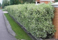 Дерен белый Элегантиссима (Cornus alba Argenteomarginata / Cornus alba Elegantissima) С 2 л 50-60 см