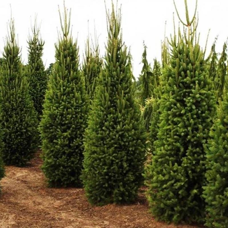 Ель обыкновенная Купрессина (Picea abies Cupressina) С 5 л (40-60 см)