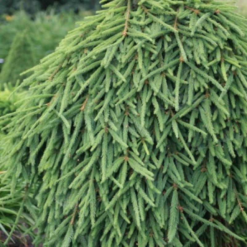 Ель обыкновенная Фробург (Picea abies Frohburg) С 15 л (120-140 см)