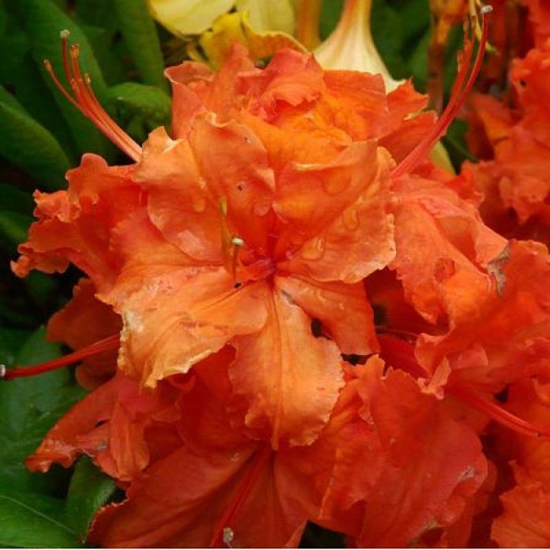 Азалия (рододендрон листопадный) Гибралтар(Rhododendron х Gibraltar) С2 л (30-50 см)