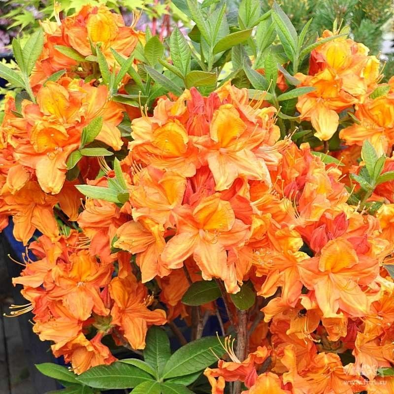 Азалия крупноцветковая Гловинг Эмберс (Rhododendron Glowing Embers) С 5 л (80-100 см)