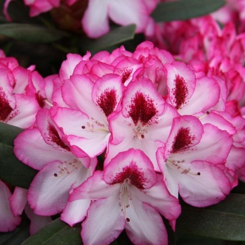 Рододендрон Хакманс Чармант ( Rhododendron Hachmann's Charmant) С 4 л (30-40 см)