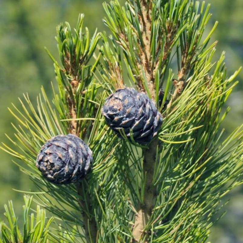 Кедр европейский (Pinus cembra) С 3 л (50-60 см)