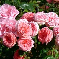 Роза Кимоно (Kimono)
