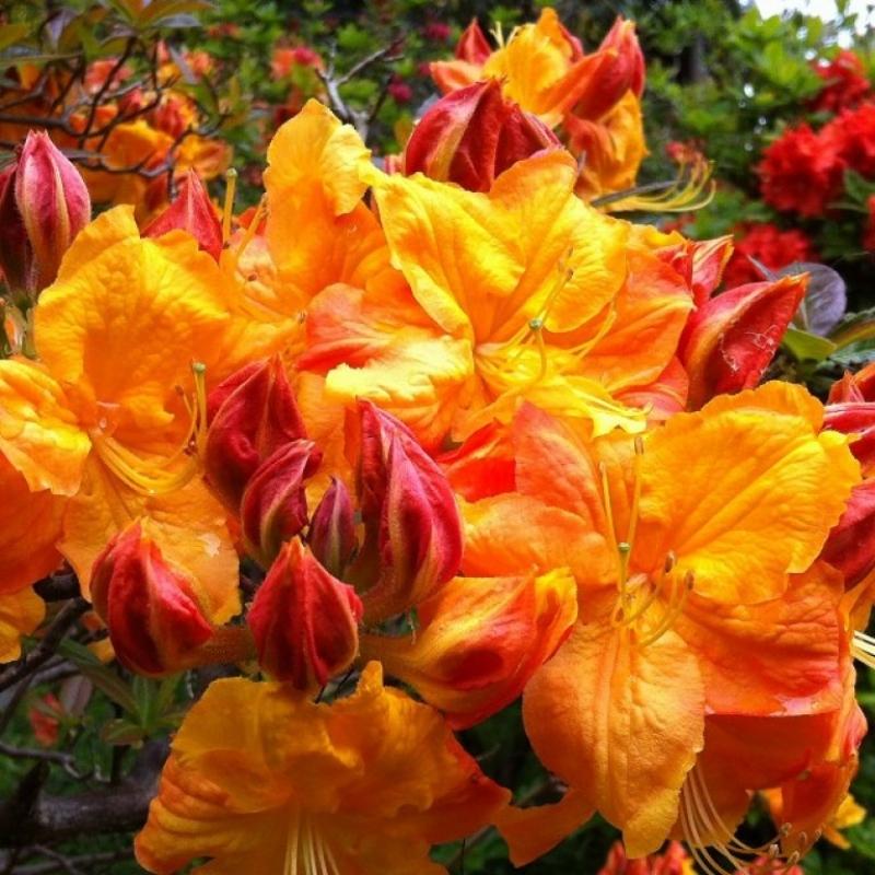 Азалия гибридная Клондайк ( Rhododendron Azalea Knapp-Hill Klondyke) С 2 л (30-50 см)