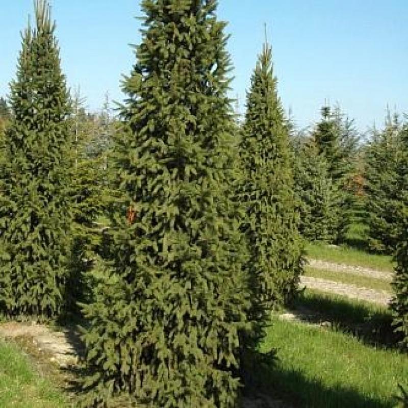 Ель обыкновенная Колумнарис (Picea abies Columnaris)  С 2 л ( 40-50 см)