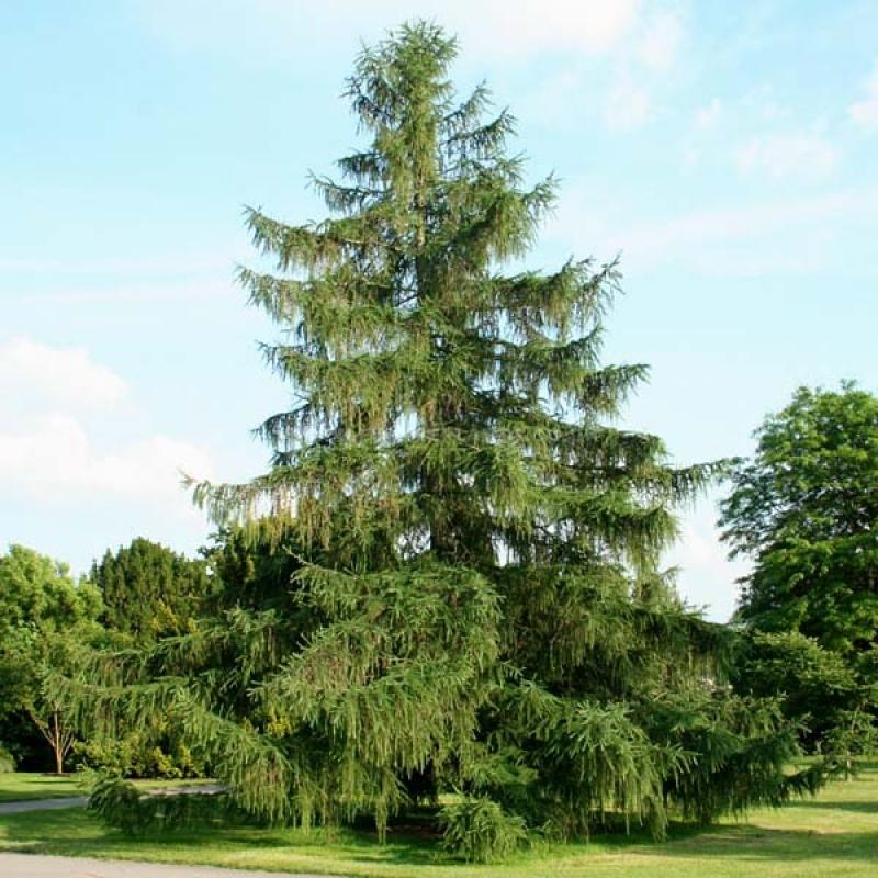 Лиственница европейская (Larix decidua) С 4 л (80-150 см)