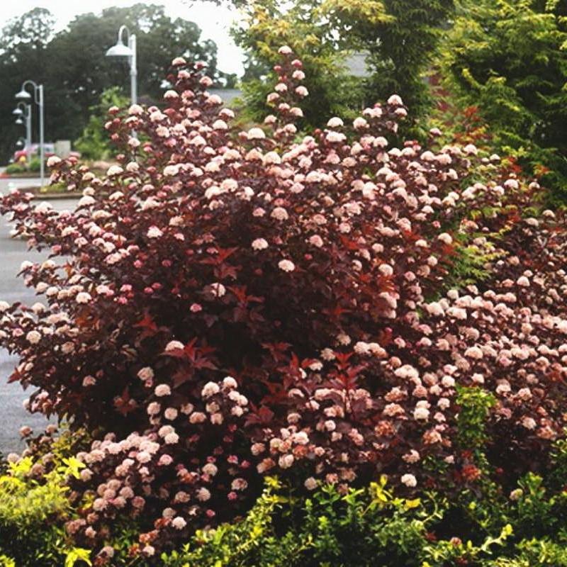 Пузыреплодник калинолистный Леди ин Ред (Physocarpus opulifolius Ledi in Red) C 2 л (60-70 cм)