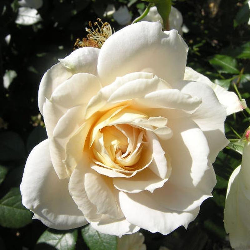 Роза Лайонз  Розе (Lions  Rose )