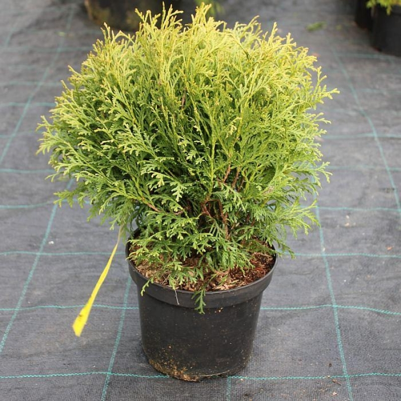 Туя западная Литл Гиант (Thuja occidentalis Little Giant) С 5 л  (20-30 см)