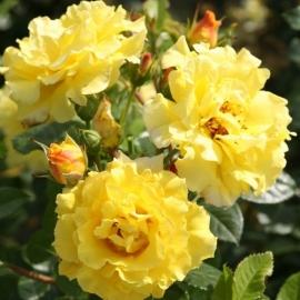 Роза Лючия (Lichtkonigin Lucia )