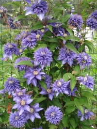 Клематис крупноцветковый Мульти Блю (Multi Blue )