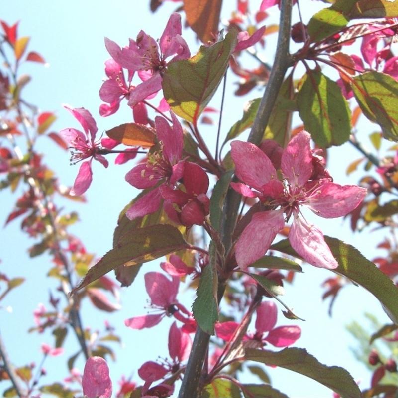 Яблоня Профьюжн (Malus Profusion) с 25 л (120-140 см)