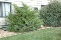 Можжевельник средний Минт Джулеп (Juniperus pfitzeriana  Mint Julep) с 7,5 л  ( 50-60 см)