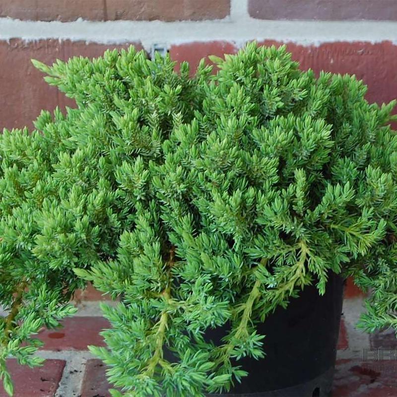 Можжевельник лежачий Нана (Juniperus procumbens Nana) с 7,5 л (40-50 см)