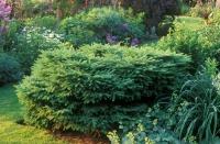 Ель обыкновенная Нидиформис (Picea abies Nidiformis) с 7,5 л (40-50 см)