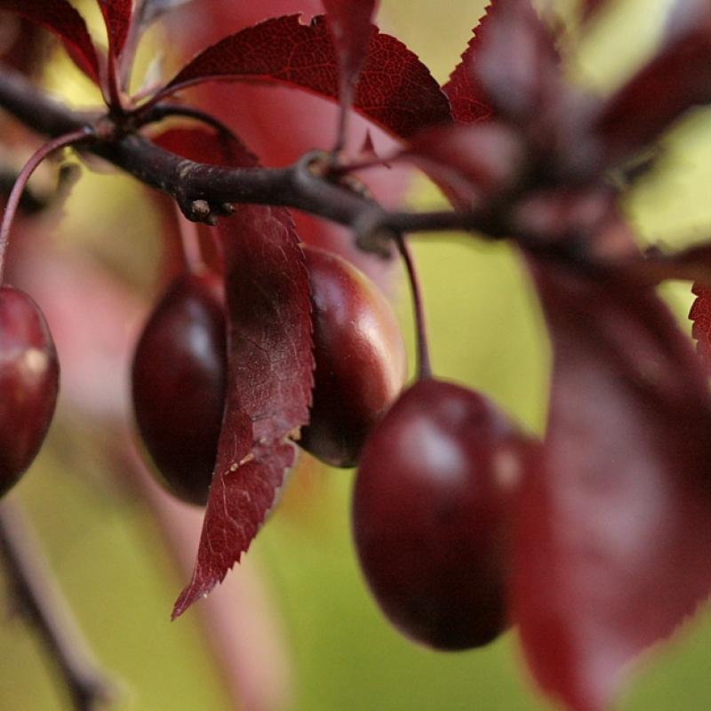 Слива Нигра ( Prunus cerasifira Nigra) С 12 л (140-160 см)