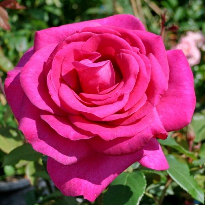Роза Пароль ( Parole)