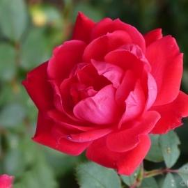 Роза Пауль Скарлет ( Paul's Scarlet)