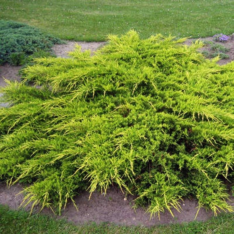 Можжевельник средний Пфитцериана Ауреа (Juniperus  Pfitzeriana Aurea) С  35 л (100-120 см)