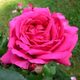 Роза Пинк Клод (Pink Klauds)