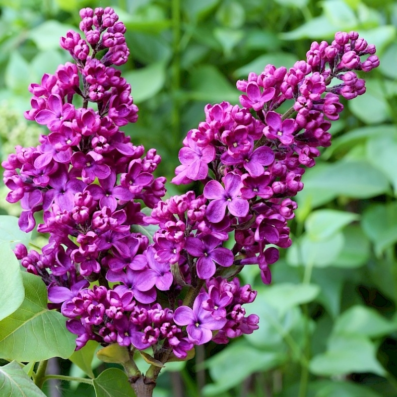 Сирень обыкновенная Князь Волконский (Syringa vulgaris Prince Wolkonsky)