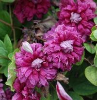 Клематис  Пурпуреа Плена Элеганс (Purpurea Plena Elegans)