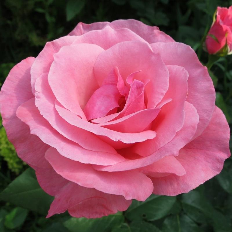 Роза Куин Элизабет (Queen Elizabeth)