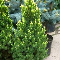 Ель канадская Рэйнбоуз Энд (Picea glauca Rainbow's Еnd)