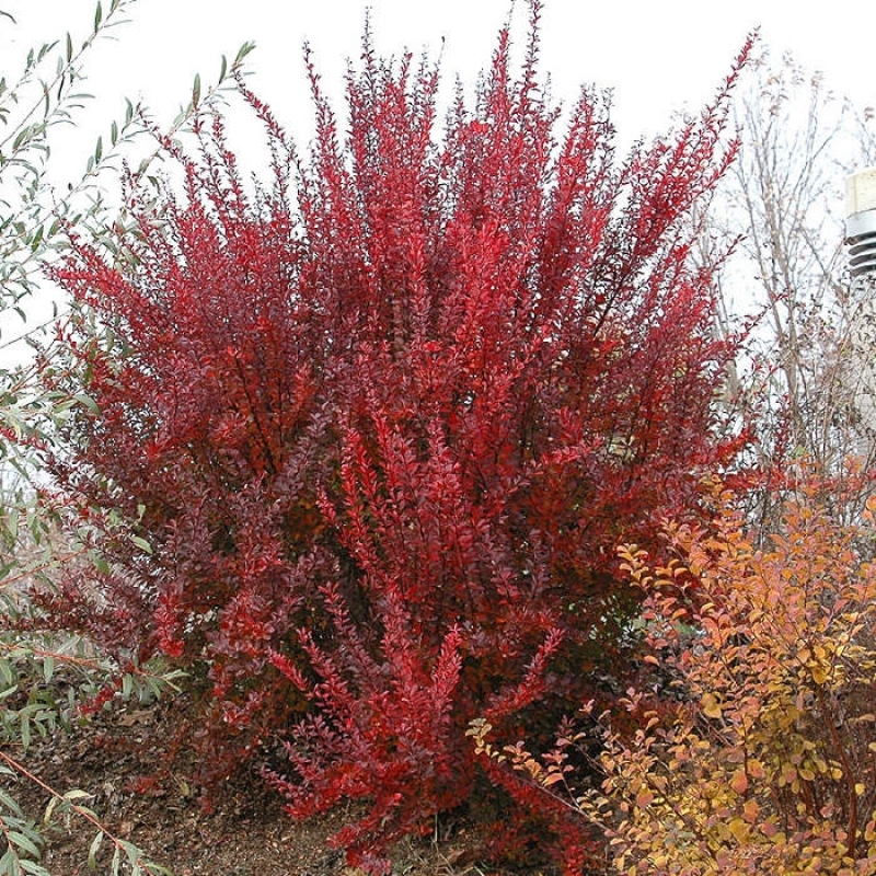 Барбарис тунберга Ред Рокет (Berberis thunbergii Red Rocket) с 1 л